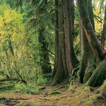 Nurse Log, Hoh Valley, Olympic National Park