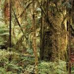 Sitka Spruce, Carmanah Park, British Columbia