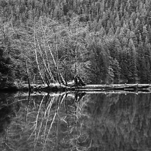 Alders, Redoubt Lake, Tongass National Forest, Alaska