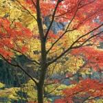 Arboretum Maples, Seattle