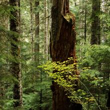 Old Growth Forest, Wild Sky Wilderness, Washington