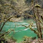 Skagit River, spring alders