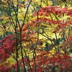 Arboretum Fall Maples, Seattle